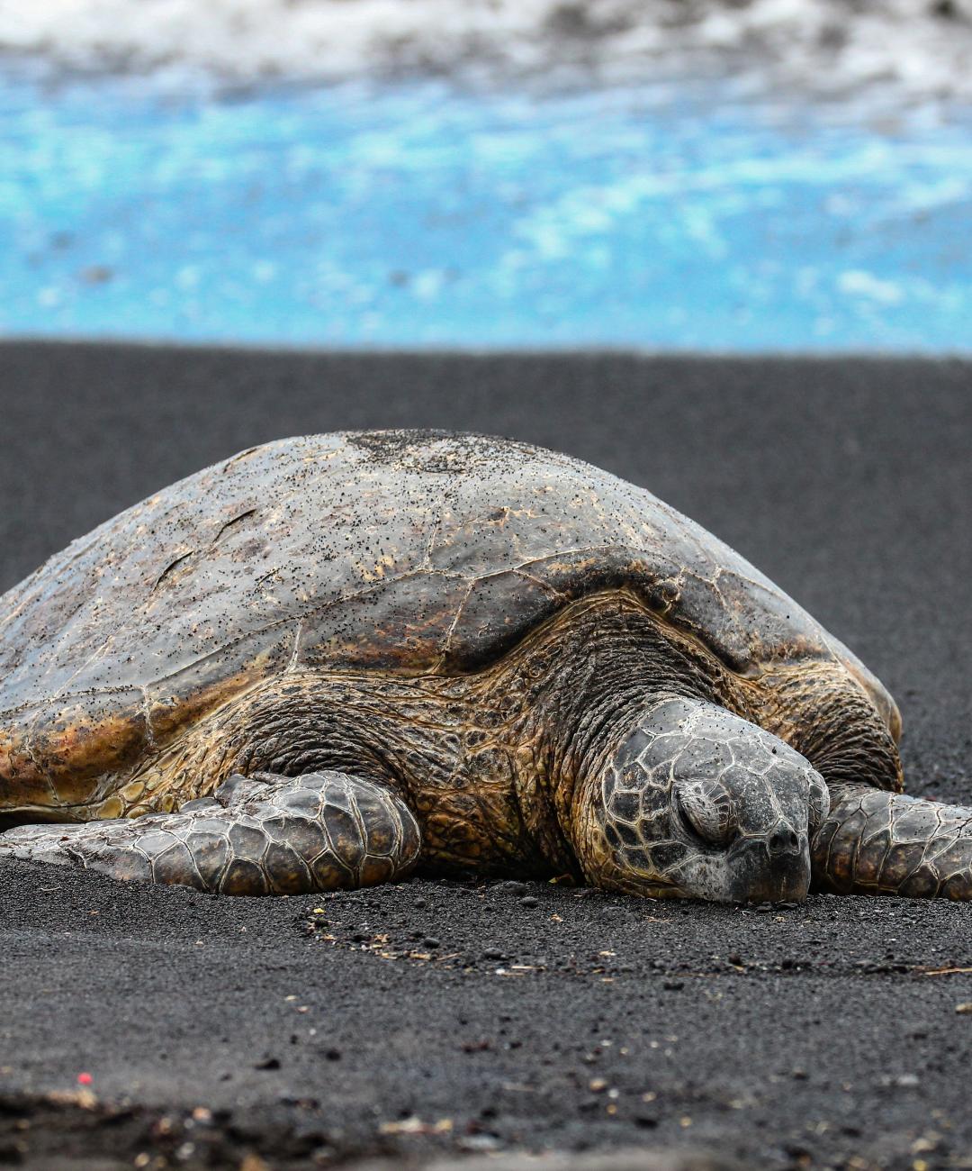 Coastal Connections Black Sea Turtle