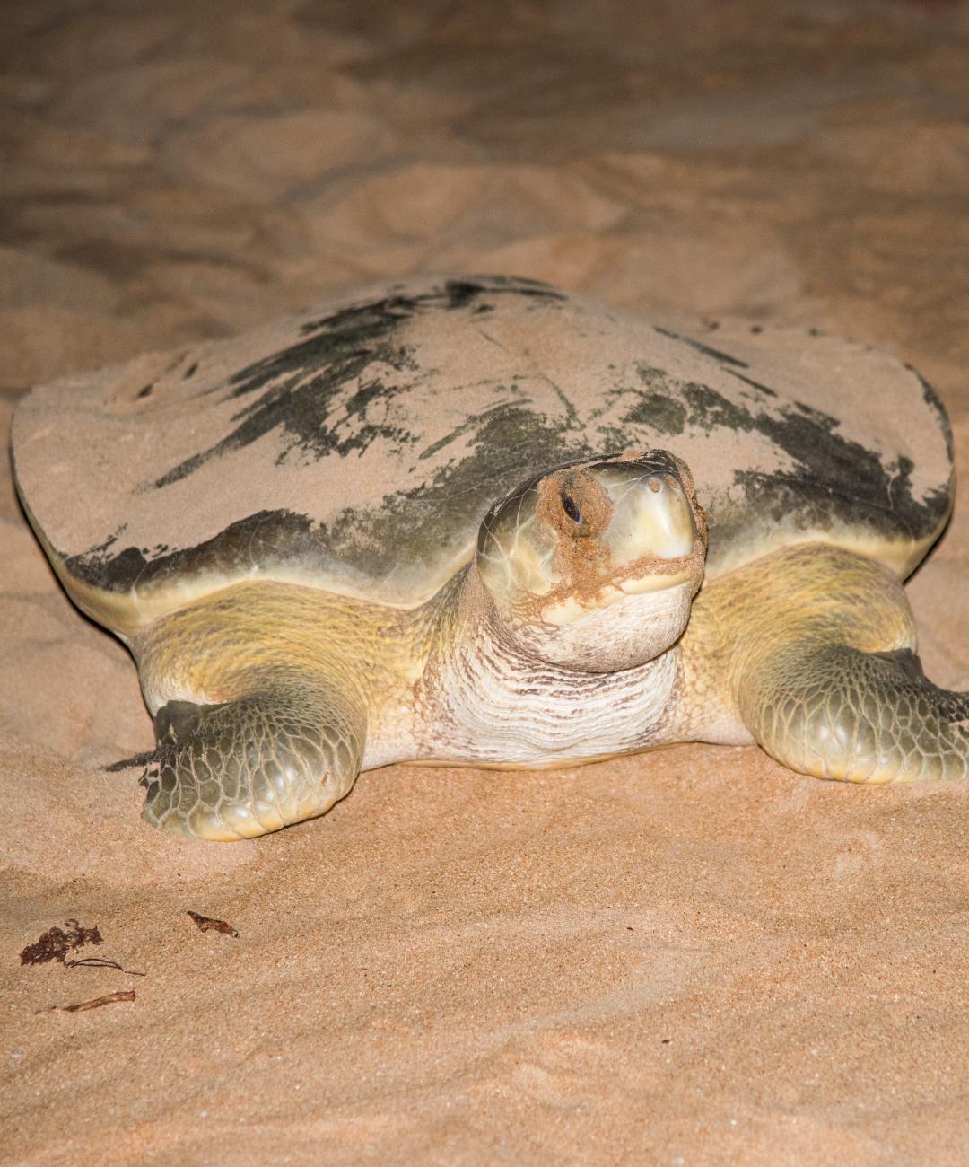 Coastal Connections Flatback Sea Turtle