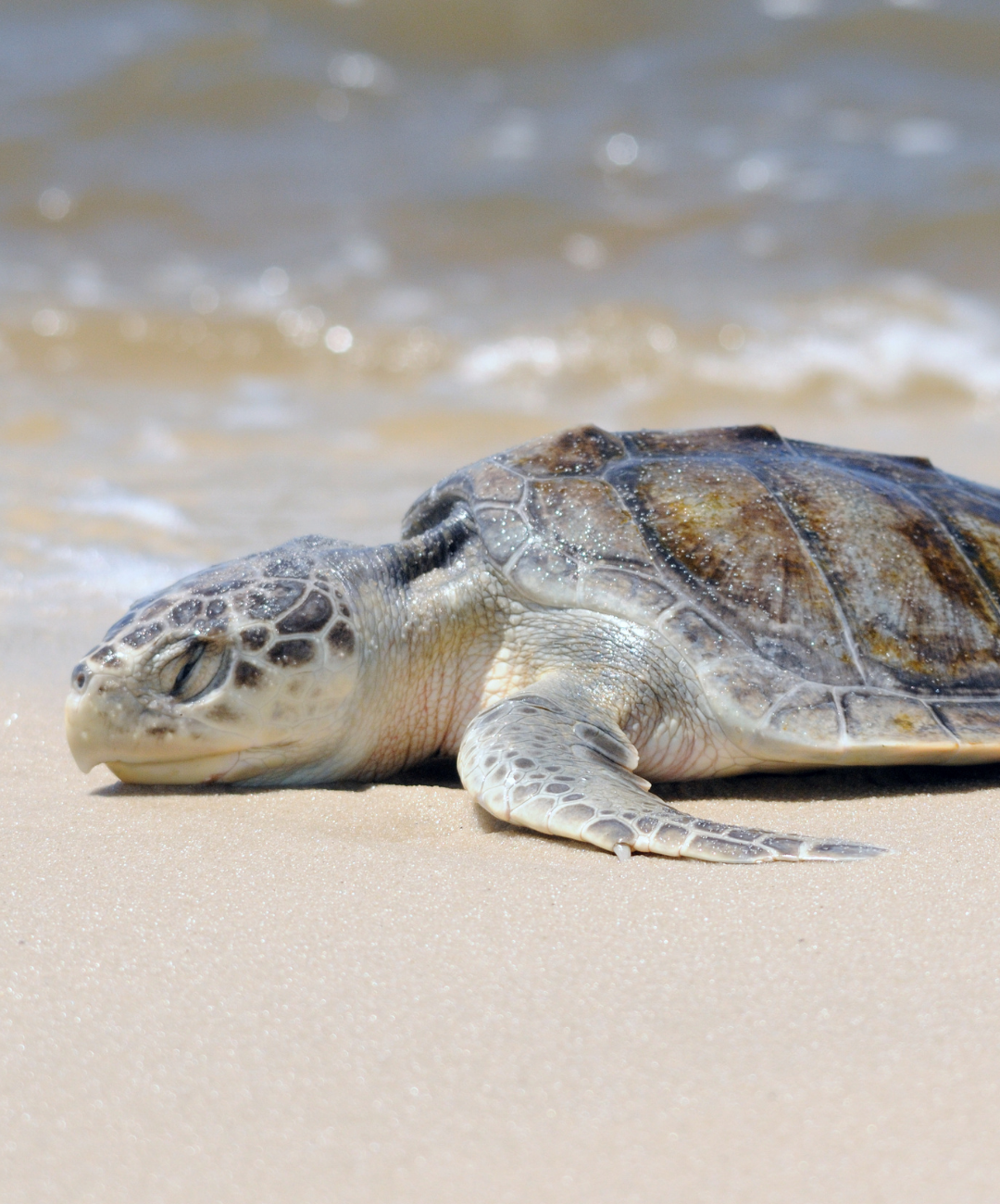 Coastal Connections Kemps Ridley Sea Turtle