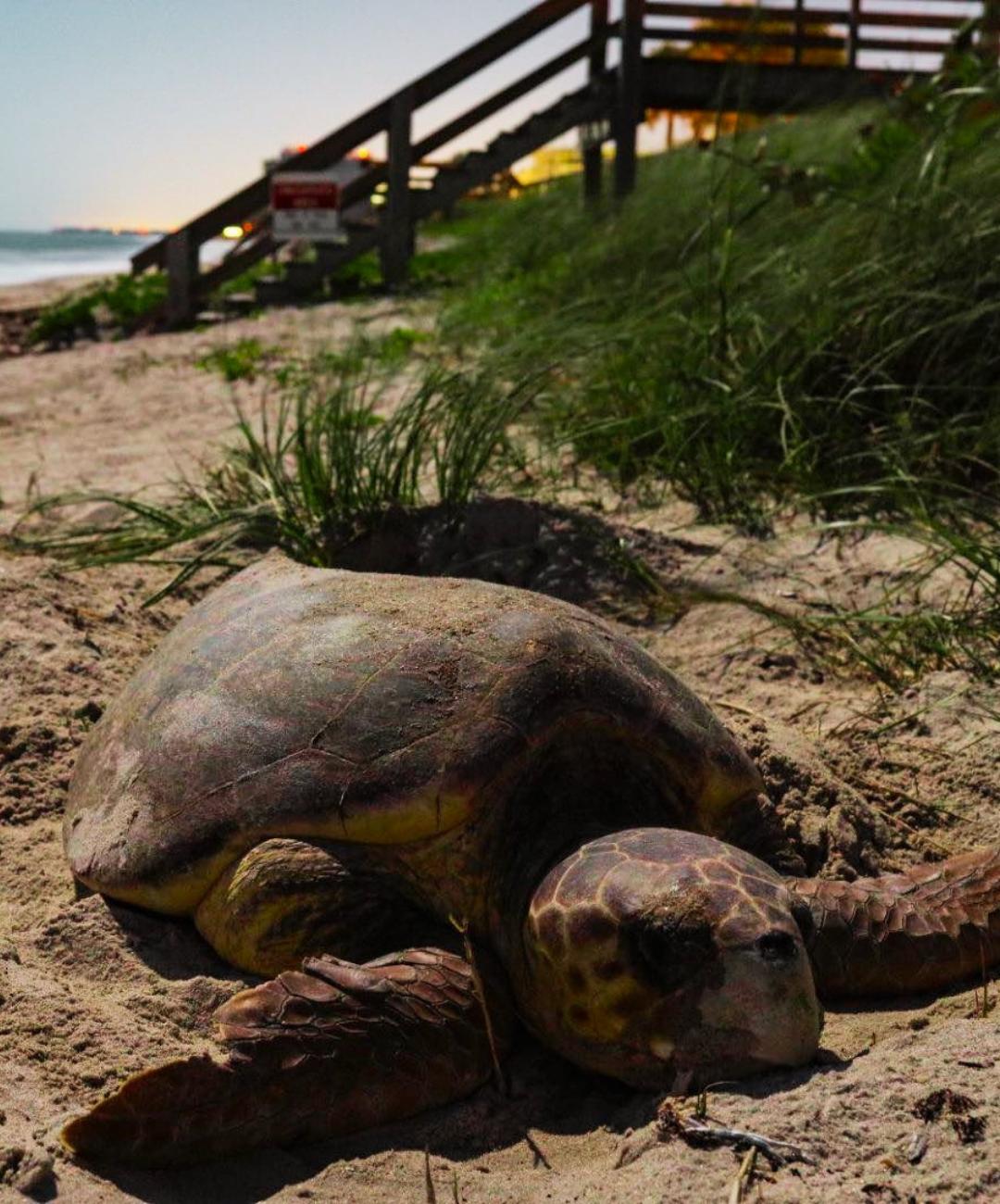 Coastal Connections Loggerhead Sea Turtle