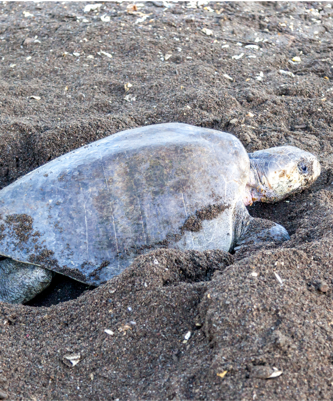 Coastal Connections Olive Ridley Sea Turtle